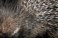 """Crested Porcupine (Hystrix cristata), Distribution Africa. is a species of rodent. Lives on the ground and digging underground tunnels. Porcupine quills, the longest of all mammals. These are transformed hairs. In the porcupines coat will be find a variety of hair styles: soft wool hairs, stiffer hairs, flat bristles and thick, very flexible, long bristles and stark, long round quills. There are also some sturdier quills which are about 40 cm in length and 7 mm in diameter. The quills are sharp and can cause inflammations. In defense, when disturbed they raise and fan their quills to make themselves look bigger. Krefeld, North Rhine-Westphalia, Germany.This picture is part of the series """"Creature's Coiffure""""..Stachelschwein (Hystrix cristata), seitlich. Verbreitungsgebiet Afrika. Gehoert zu den Nagetieren. Lebt am Boden und graebt unterirdische Gaenge. Stachelschweine haben die laengsten Stacheln aller Saeugetiere. Es handelt sich dabei eigentlich um umgewandelte Haare. Im Kleid der Stachelschweine findet man die verschiedensten Haararten: weiche Wollhaare, steifere Haare, flache Borsten, dicke, sehr elastische, lange Borsten und starre, lange runde Spiesse. Einzelne Spiesse können bis zu 40 cm lang werden und einen Durchmesser von 7 mm haben. Die Stacheln sind scharf und koennen Entzuendungen verursachen. Bei Gefahr und Selbstverteidigung stellt es die Stacheln auf, die dann zur Waffe werden. Krefeld, Nordrhein-Westfalen, Deutschland.Dieses Bild ist Teil der Serie ,,Die Frisur der Kreatur"""""""