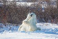 01874-13515 Polar Bears (Ursus maritimus) sparring, Churchill Wildlife Management Area, Churchill, MB
