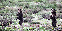 Grizzly cubs waving to the tourists, the parade wave.  Grand Teton National Park.<br /> <br /> Contact for custom print options or inquiries about stock usage  - dh@theholepicture.com