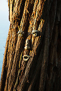 Swamp Mahogany Eucalyptus Tree, Waipio Rim B&B, Waipio Valley, Hamakua Coast, Big Island of Hawaii