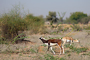 Blackbuck male antelope, Antilope cervicapra, with female hind near Rohet in Rajasthan, North West India