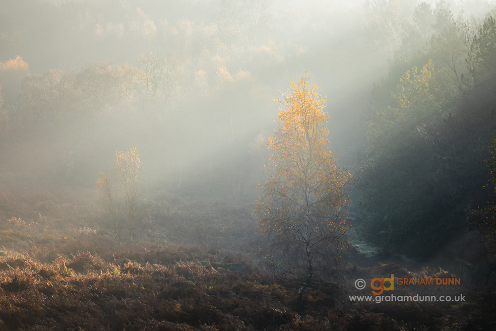 Morning sunlight infiltrates an ever-moving tide of mist and creates shafts of light that illuminate the top of this autumnal silver birch tree. The resultant golden glow was mesmerising! Captured on the moorland below Over Owler Tor and adjacent to the Whim Plantation in the Derbyshire Peak District. An autumn scene in England, UK.