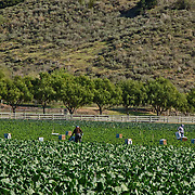 Agricultural workers. Santa Rosa Valley, CA. USA.