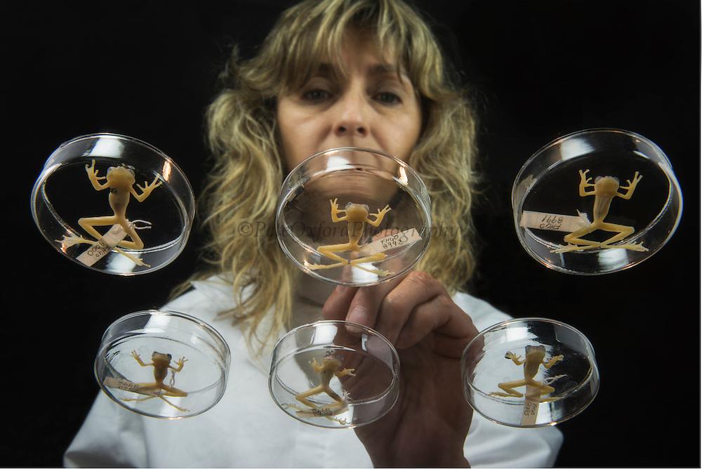 Glass frogs (Centrolenidae) FHGO Museum reference collection<br /> Quito. ECUADOR. South America