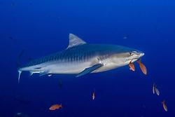 Tiger Shark, Galeocerdo cuvier, Revillagigedos, Mexico, Pacific Ocean