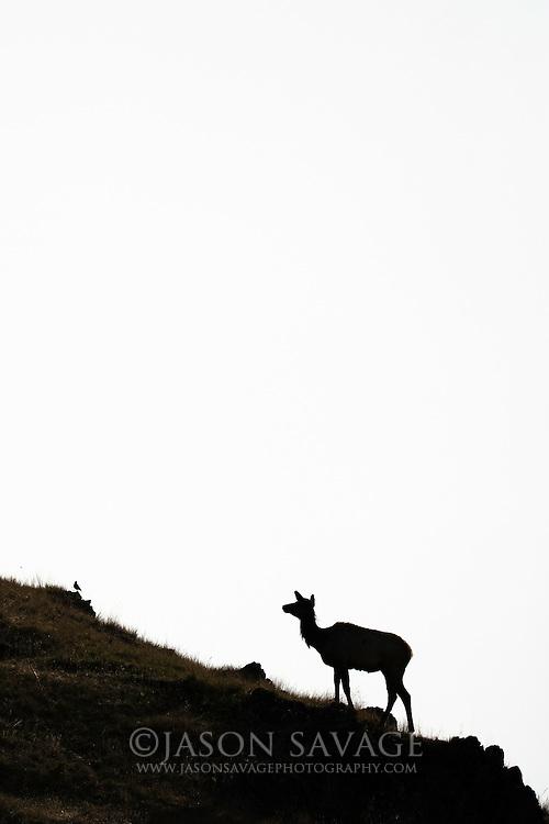 Cow Elk, National Bison Range. Montana.