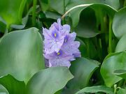 Purple Hyacinth flower. Photographed in Yannan, Chins