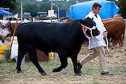 Pedigree winning bullock at Moreton Show, Moreton-in-the-Marsh Showground, The Cotswolds, Gloucestershire, UK