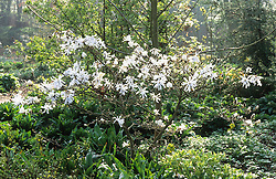 Magnolia stellata early in the morning in the woodland garden at Beth Chatto's. Star magnolia