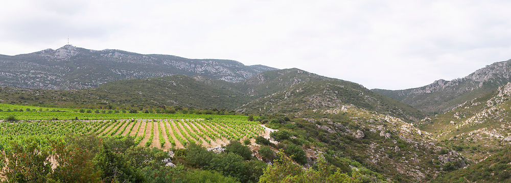 Domaine des Grecaux in St Jean de Fos. Montpeyroux. Languedoc. Garrigue undergrowth vegetation with bushes and herbs. France. Europe. Vineyard. Mont Saint Baudille.