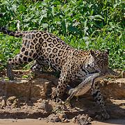 Jaguar captures a small caiman. Cuiaba River, Pantanal, Brazil