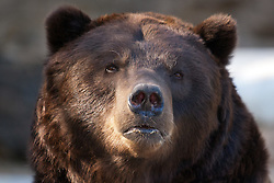 19 October 2010: Grizzly Bear. St. Louis Zoo, St. Louis Missouri (Photo by Alan Look)