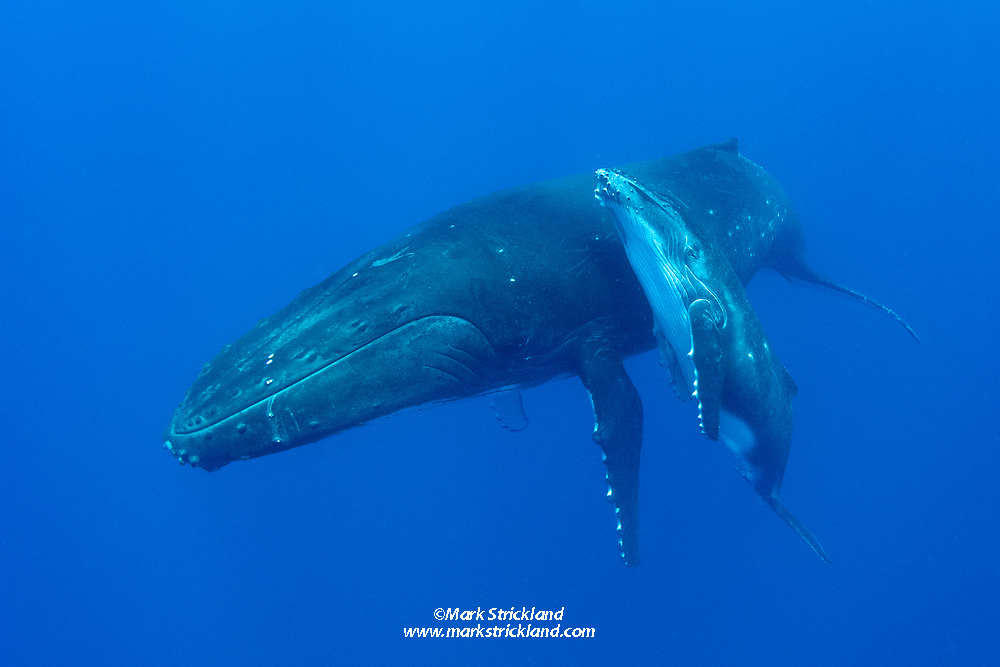 Mother and calf Humpback Whale, Megaptera novaeangliae, resting at mid-depth. Moorea, French Polynesia, Pacific Ocean