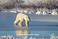 01874-12317 Polar bear (Ursus maritimus) walking on frozen pond, Churchill Wildlife Management Area, Churchill, MB Canada