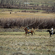 Ranching, cowboys on horses chasing runaway calf to be branded on Winnecook Ranch. Montana.