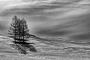 Black and white of Siberian larch trees (Larix sibirica) in winter, Hovsgol, Mongolia