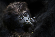 Baby Gorilla in deep thoughts while in the caring arms of Mother in Bwindi, Uganda.
