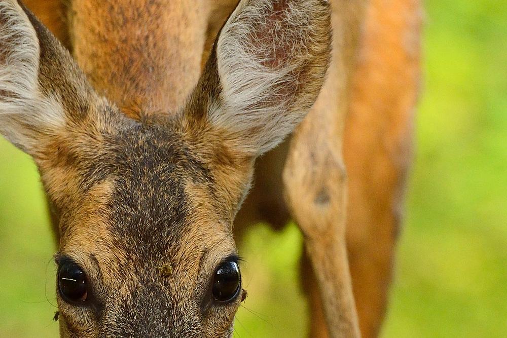 Roe deer, Capreolus capreolus, Pusztaszer protected landscape, Kiskunsagi, Hungary