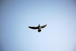 Brown Booby in flight over Adele Island on the Kimberley coast