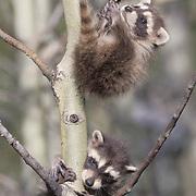 Raccoon, (Procyon lotor) Young hanging on sapling. Montana. Captive Animal.