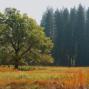 Lone Oak Tree - Yosemite Valley Meadow - Yosemite