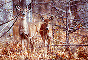 Two fawns standing in trees at Wichita Mountain Wildlife Refuge