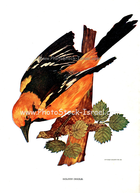 Male Eurasian golden oriole (Oriolus oriolus) or simply golden oriole, Birds : illustrated by color photography : a monthly serial. Knowledge of Bird-life Vol 1 No 1 January 1897