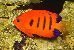 flame angelfish or flame angel, Centropyge loriculus, Oahu, Hawaii, USA, Pacific Ocean (c)