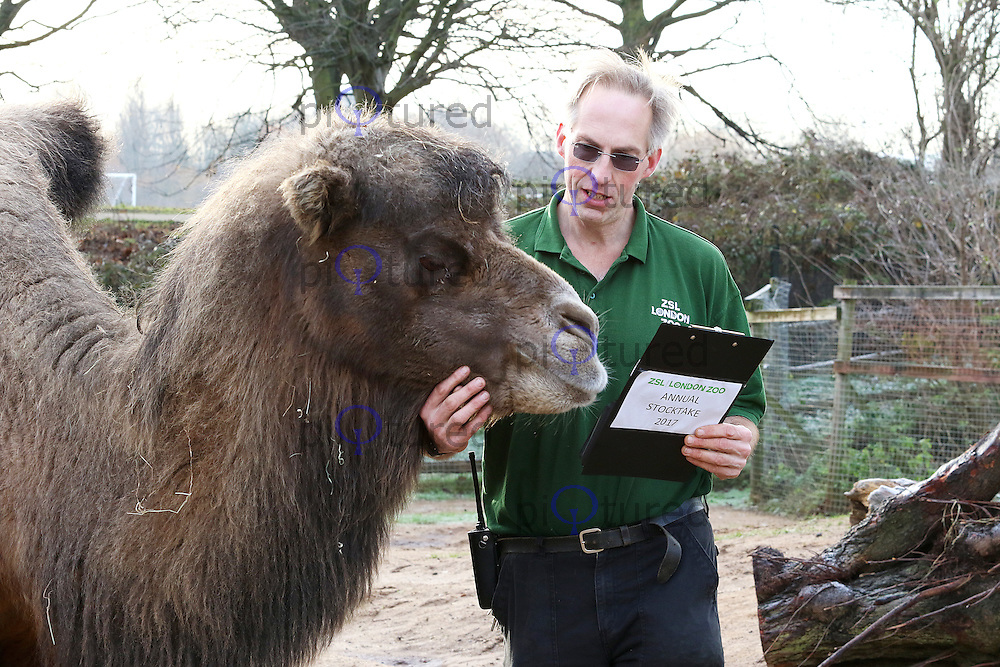 Camels, ZSL London Zoo - Annual Stocktake 2017, London UK, 03 January 2017, Photo by Brett D. Cove