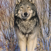 A portrait of an adult Gray Wolf. Captive Animal
