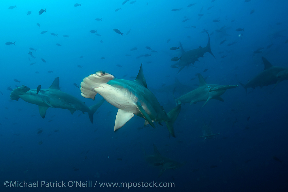 Scalloped Hammerhead Sharks, Sphyrna lewini, school near the dropoff in Darwin Island, Galapagos, considered by experts to be the sharkiest location in the world.
