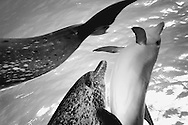 spotted dolphins play in pod