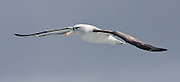 55x25cm print of a White-capped Albatross gracefully soaring through the sky.