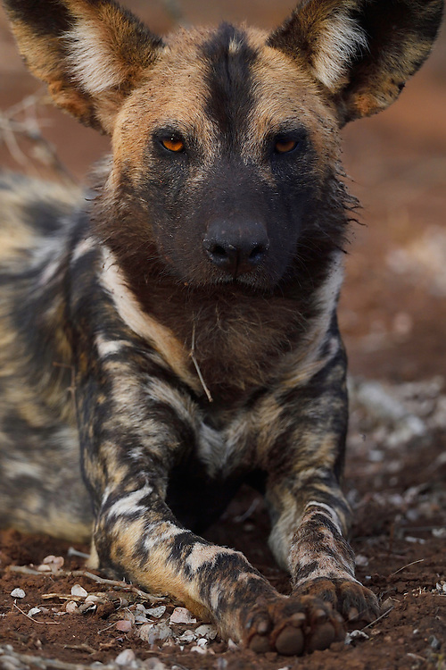African Wild Dog or Painted Dog, Lycaon pictus, Zimanga Private Nature Reserve, KwaZulu Natal, South Africa