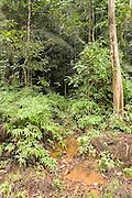 An asian elephant trail in Endau-Rompin National Park, Malaysia.