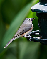 Tufted Titmouse. Image taken with a Nikon D850 camera and 400 mm f/2.8 lens.