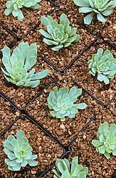 Propagating echeveria<br /> Finished tray of individual echeveria plants