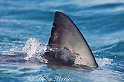 dorsal fin of great white shark, Carcharodon carcharias, near Dyer Island, off Gansbaai, South Africa