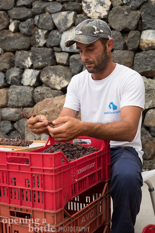 A man destems a dried grape cluster at Donnafugata's Pantelleria winery, Sicily, Italy.