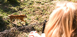 Visitors watch as a female Bengal tiger paces around her enclosure at the Oakland, Calif. zoo, Wednesday, Dec. 26, 2007. In the wake of the escape of a Siberian tiger at the San Francisco zoo Tuesday that left the tiger and one zoo visitor dead and two other men seriously injured, officials in Oakland said they were confident that visitors were not in danger. (D. Ross Cameron/The Oakland Tribune)