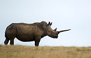 A white rhino (Ceratotherium simum) with a very long horn in Solio Ranch, Kenya.