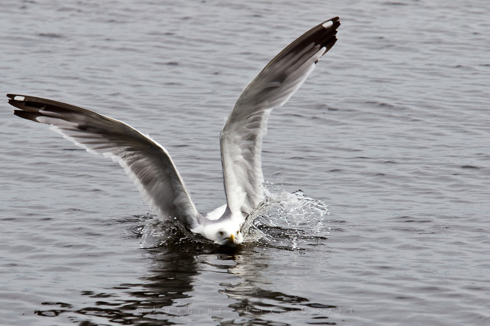 A seagull landing on Lake Kabetogama in Voyageur National Park. The is in the Border Lakes region of northern Minnesota and northwestern Ontario. This forested, lake-filled landscape covers 5.1 million acres surrounding Quetico Provincial Park, Voyageurs National Park and the Boundary Waters Canoe Area Wilderness. This region is part of the Superior National Forest in northeastern Minnesota
