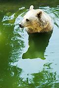 Syrian brown Bear Ursus arctos syriacus