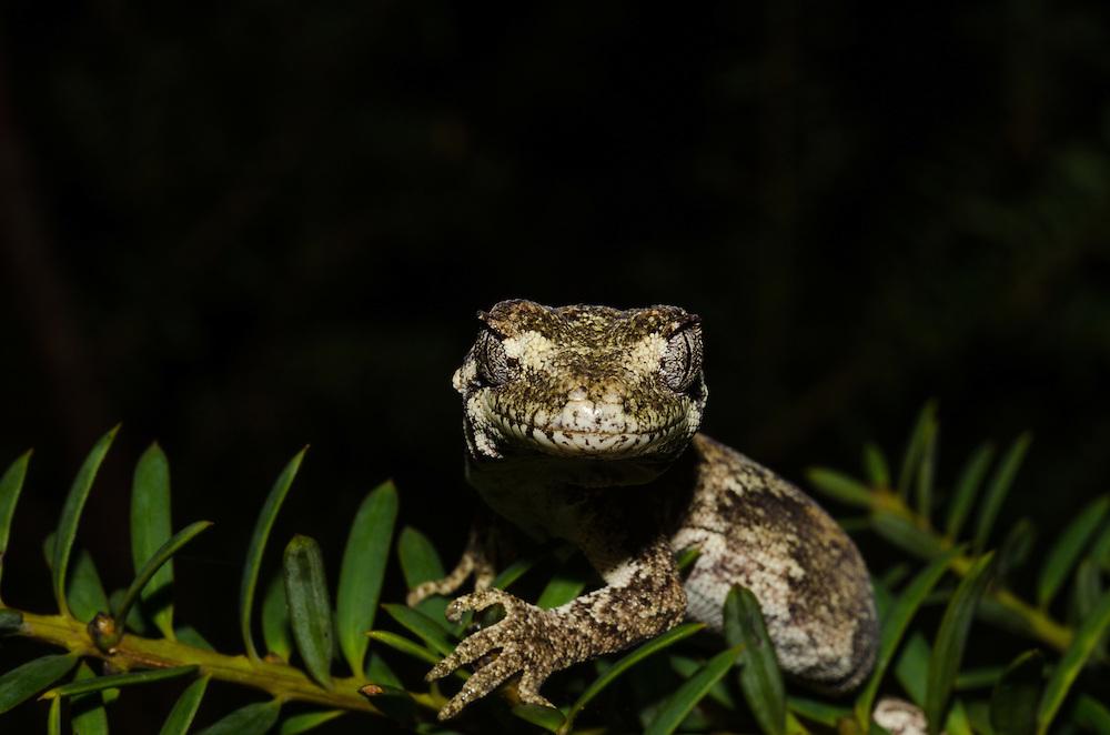 Forest gecko, Hoplodactylus granulatus