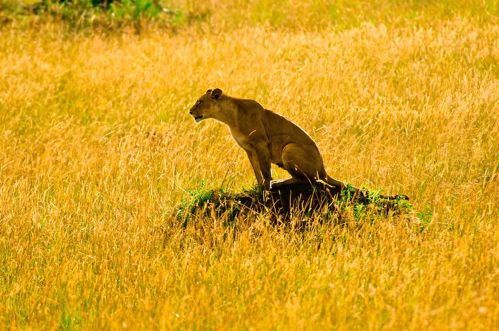 A lioness atop a mound, Masai Mara National Reserve, Kenya