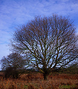 A01XE0 Leafless oak tree in winter
