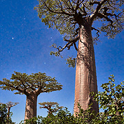 Baobab trees in the allée des baobabs (alley of baobabs) in the western coastal region of Madagascar. <br /> <br /> Madagascar is the world's forth largest island off the coast of east Africa.
