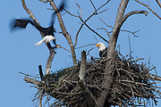 A bald eagle (Haliaeetus leucocephalus) delivers a salmon to its mate on their nest in Puyallup, Washington.