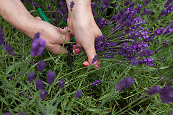 North America, United States, Washington, Sequim, hands cutting lavender in field at Lavender Festival, held annually each July