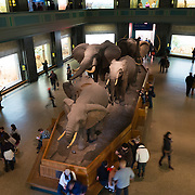 A herd of elephants on display in the large mammals hall at the Museum of Natural History in New York